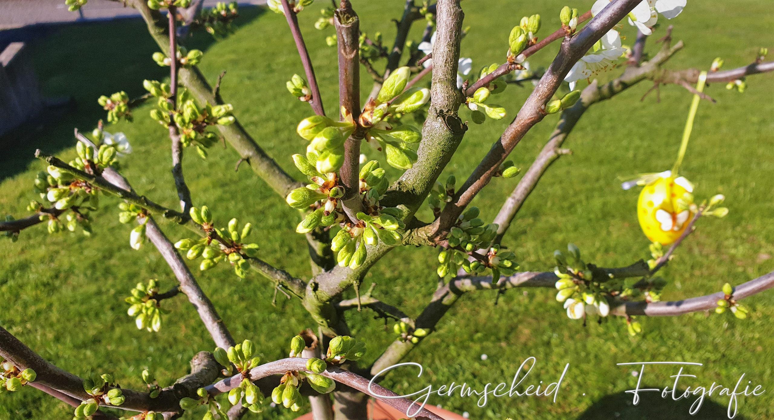 Pflaumenbaum am Morgen scaled